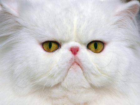 Patrones y colores del pelaje del gato persa » GATOPERSAPEDIA