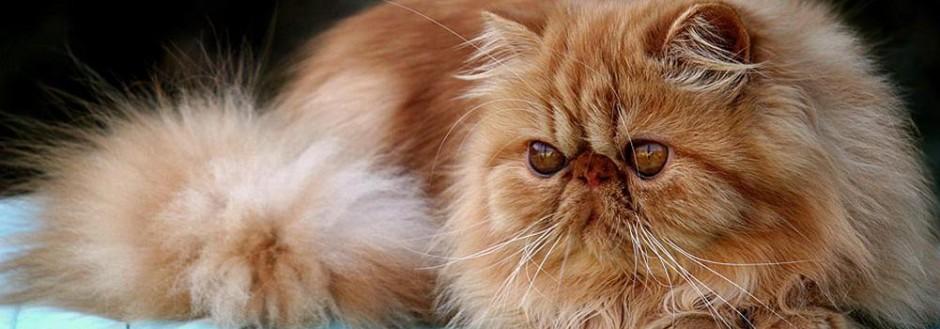 Los Pros Y Contras De Poseer Un Gato Persa Sus Principales Características Gatopersapedia