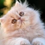 Gato persa sombreado