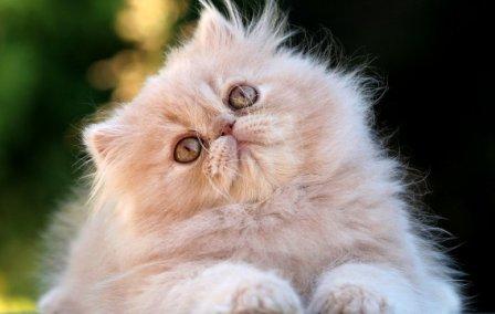 gato-persa sombreado