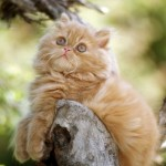 Gato persa dorado
