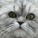 Ojos de gato persa